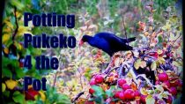 Potting Pukeko 4 the Pot.